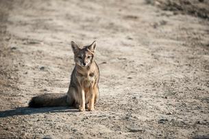 パタゴニアの動物:ハイイロギツネ(狐)の写真素材 [FYI02678676]