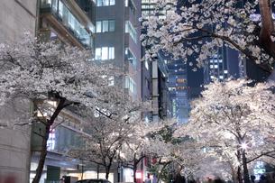 桜咲く日本橋さくら通りの夜景の写真素材 [FYI02678682]