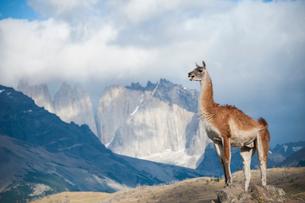 パタゴニアの動物:グアナコとトーレスデルパイネ峰の写真素材 [FYI02678721]