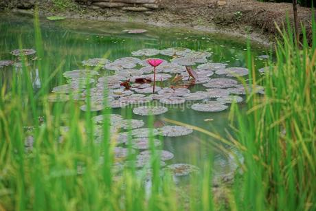 池の睡蓮の写真素材 [FYI02678727]