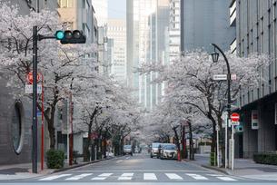 日本橋さくら通りの桜並木の写真素材 [FYI02678756]