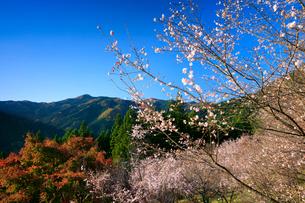 冬桜と紅葉 城峯公園の写真素材 [FYI02678759]
