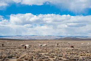 アンデス高原のリャマの群れの写真素材 [FYI02678760]