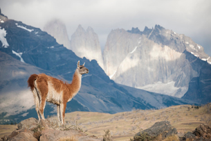 パタゴニアの動物:グアナコとトーレスデルパイネ峰の写真素材 [FYI02678812]