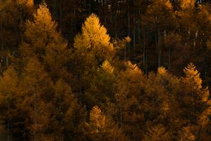 カラ松の紅葉の写真素材 [FYI02678858]