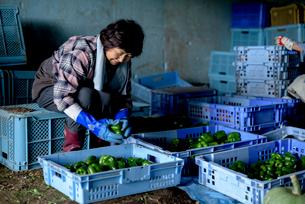 収穫した野菜を仕分けするシニア女性の写真素材 [FYI02678881]