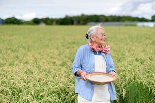 水田で米を持つシニア女性の写真素材 [FYI02678898]