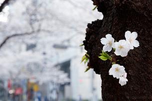 日本橋さくら通りの桜の写真素材 [FYI02679020]