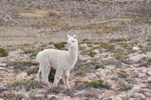 アンデス高原のアルパカの写真素材 [FYI02679027]