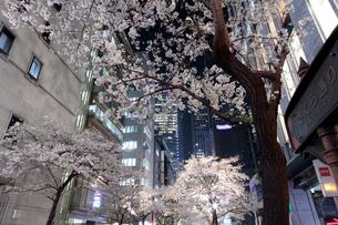桜咲く日本橋さくら通りのライトアップの写真素材 [FYI02679085]