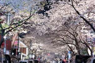 桜咲く日本橋さくら通りのライトアップの写真素材 [FYI02679142]