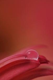水滴と花びらの写真素材 [FYI02679145]