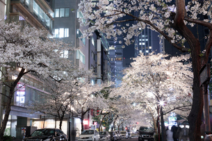 桜咲く日本橋さくら通りのライトアップの写真素材 [FYI02679152]