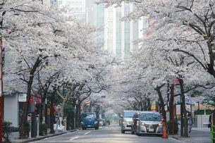 日本橋さくら通りの桜並木の写真素材 [FYI02679195]