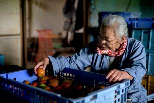 収穫した野菜を仕分けするシニア女性の写真素材 [FYI02679197]