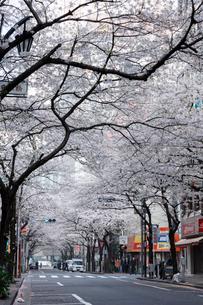 日本橋さくら通りの桜並木の写真素材 [FYI02679227]