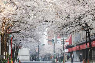 日本橋さくら通りの桜並木の写真素材 [FYI02679242]