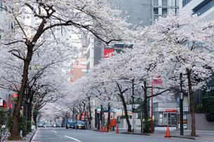 日本橋さくら通りの桜並木の写真素材 [FYI02679243]