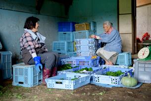 収穫した野菜を仕分けするシニア女性の写真素材 [FYI02679351]