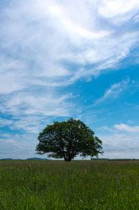 牧草地のハルニレの大木の写真素材 [FYI02679376]