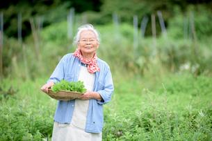 ハーブ園でミントを摘むシニア女性の写真素材 [FYI02679422]