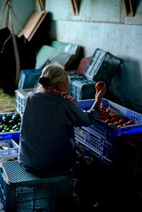 収穫した野菜を仕分けするシニア女性の写真素材 [FYI02679439]