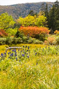 大雪山の紅葉とエゾオヤマノリンドウの写真素材 [FYI02679469]