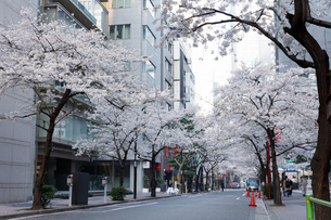 日本橋さくら通りの桜並木の写真素材 [FYI02679550]