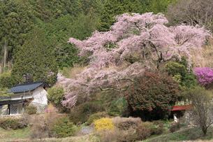 満開の西丸尾の枝垂れ桜の写真素材 [FYI02679585]