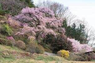 満開の西丸尾の枝垂れ桜の写真素材 [FYI02679607]