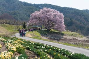 上の平城跡の一本桜と小学生の写真素材 [FYI02679637]