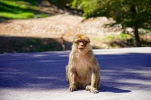 イフランの猿の写真素材 [FYI02679673]