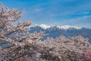 満開の大草城址公園と残雪の中央アルプスの写真素材 [FYI02679702]