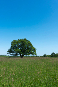 牧草地のハルニレの大木の写真素材 [FYI02679720]