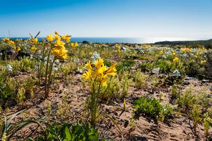 アタカマ砂漠の花園に咲くユリ科のアニャニュカの写真素材 [FYI02679753]