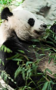 パンダの写真素材 [FYI02679900]