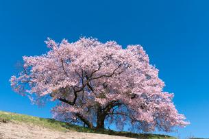 上の平城跡の一本桜の写真素材 [FYI02679984]