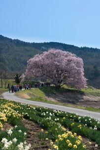 上の平城跡の一本桜と小学生の写真素材 [FYI02680091]