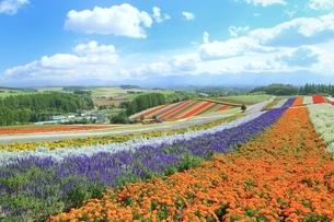 四季彩の丘の花畑の写真素材 [FYI02680158]