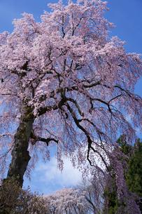 法蔵寺の枝垂れ桜の写真素材 [FYI02680287]