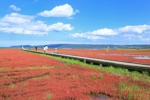 網走 能取湖のサンゴ草群生地の写真素材 [FYI02680299]