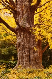 色づいた日比谷公園松本楼前の首掛け銀杏の写真素材 [FYI02680333]
