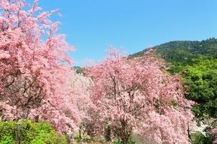 大美和の杜展望台の枝垂桜と三輪山の写真素材 [FYI02680344]