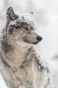 オオカミの写真素材 [FYI02680346]