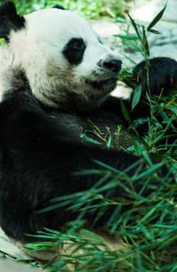パンダの写真素材 [FYI02680371]
