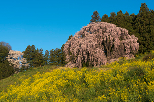 満開の合戦場のしだれ桜と菜の花の写真素材 [FYI02680437]
