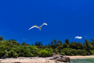 沖縄県 エリグロアジサシの写真素材 [FYI02680442]