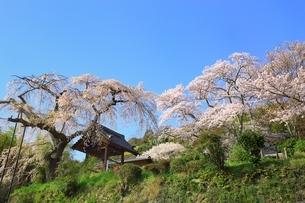 京都 地蔵禅院の桜の写真素材 [FYI02680483]