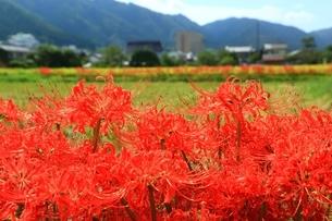 京都 ひがん花の里の写真素材 [FYI02680502]