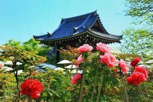 ボタン咲く乙訓寺の写真素材 [FYI02680506]